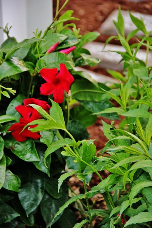 This mandevilla garden blooms beautifully in this home's backyard.