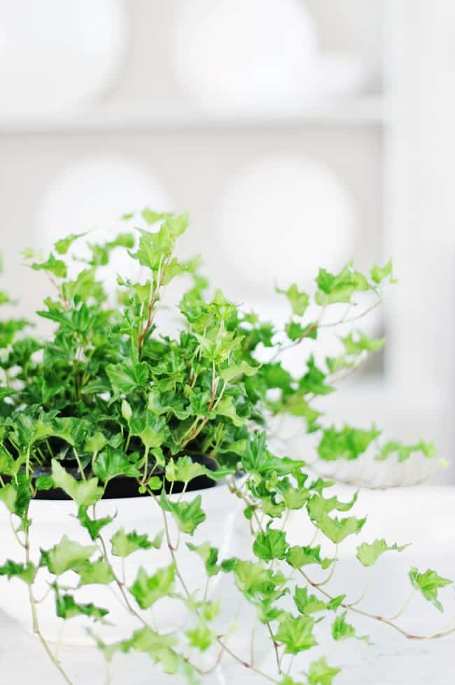 tip to keep your ivy fresh