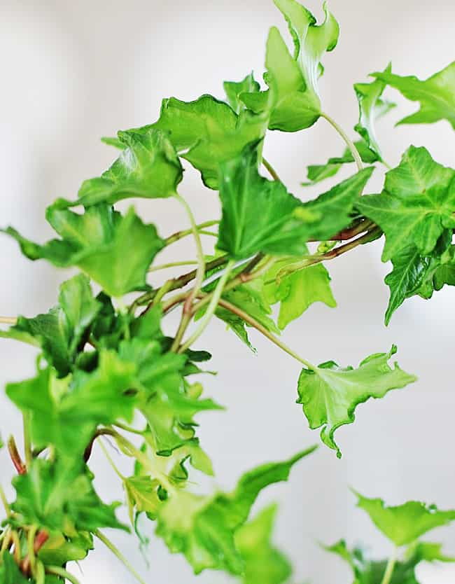 tip to keep your ivy fresh every day