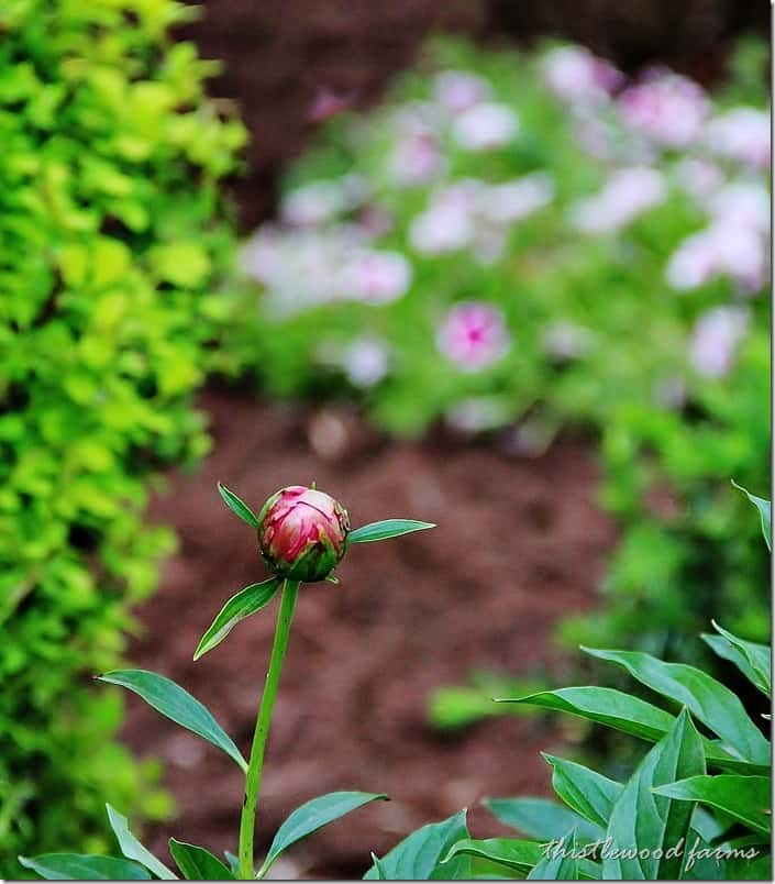 outside-summer-decorating-with-peonies