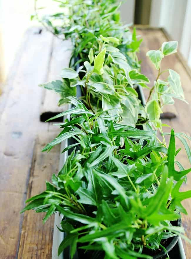 ivy planter