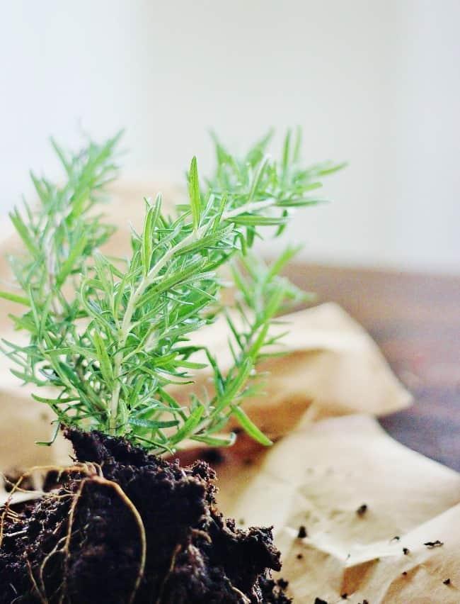 Herb garden rosemary plant