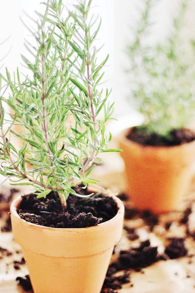 herb garden planted rosemary