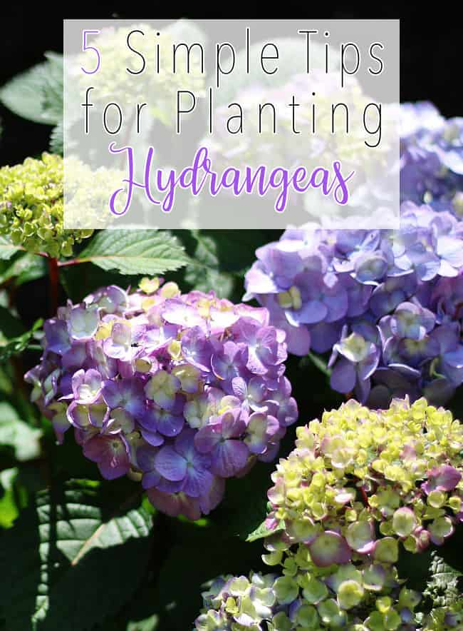 These five simple tips for planting hydrangeas will improve your garden.