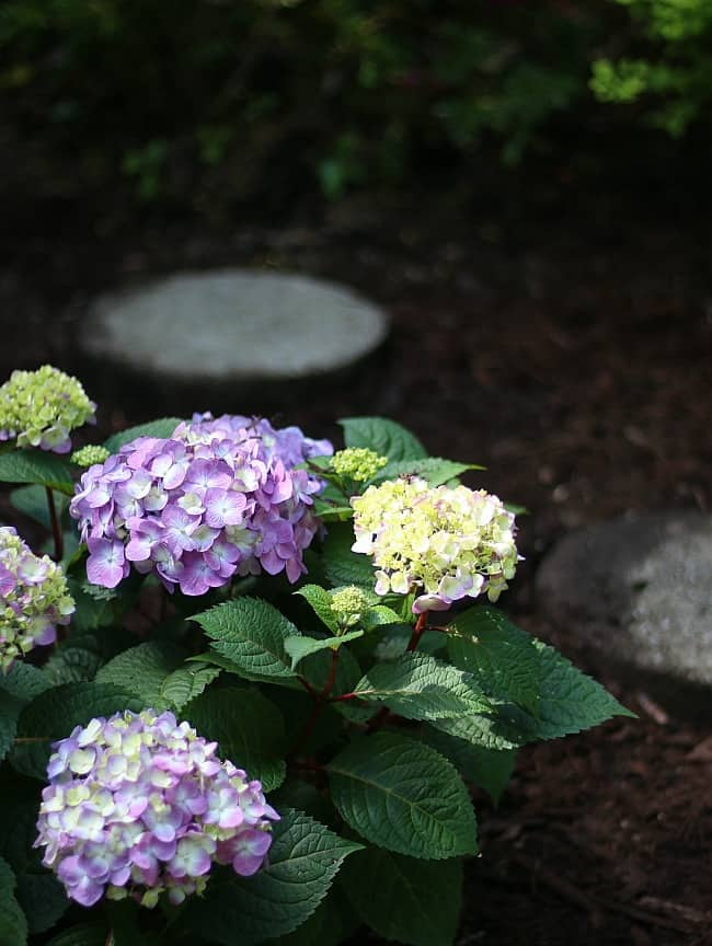Planting beautiful hydrangeas in your garden is no easy task.