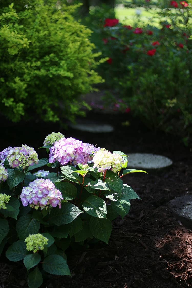 5 Simple Tips For Planting Hydrangeas Thistlewood Farm