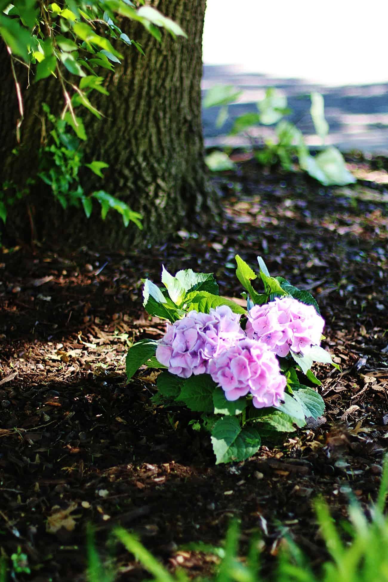 growing hydrangeas in Texas pink hydrangea