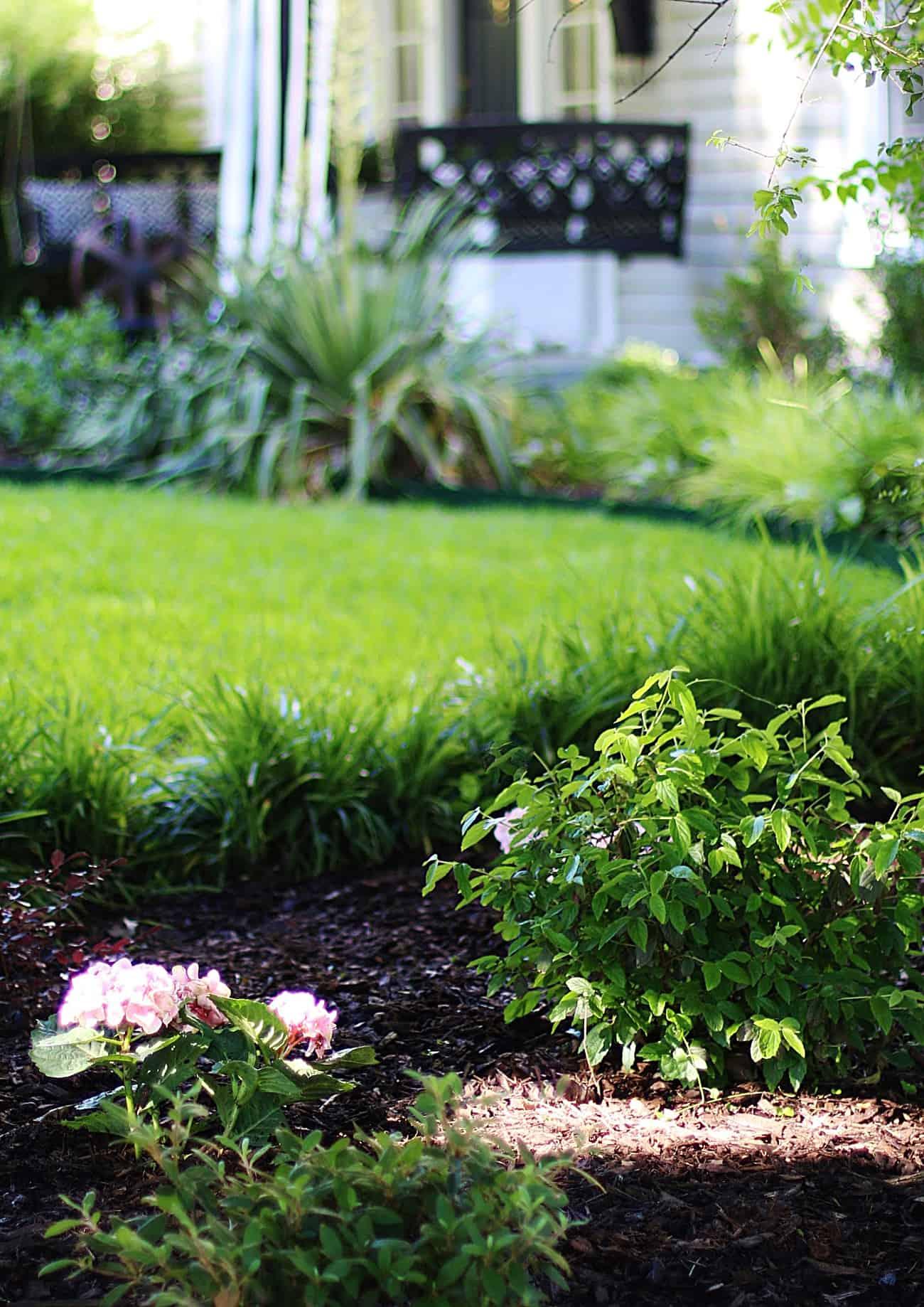 growing hydrangeas in Texas garden bed