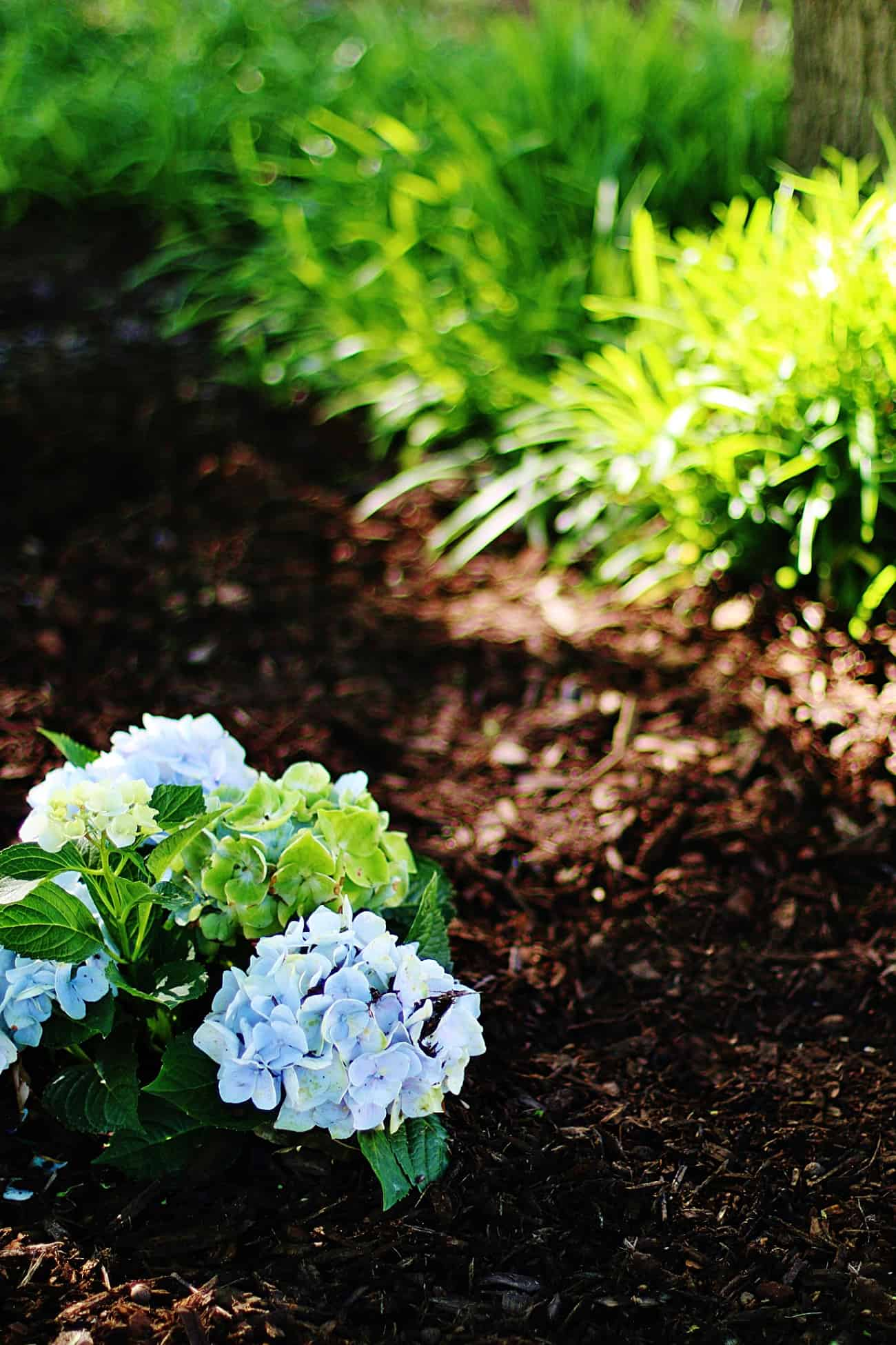 Why are hydrangeas not blooming flowers